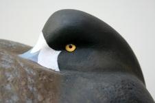 1 Broadbill - Cork Hen 4