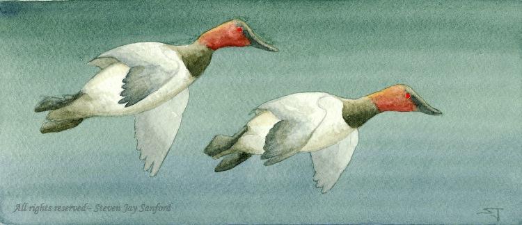 25 - Canvasbacks - March 2011 - 600 dpi rr