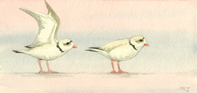 Drawings & Paintings - Piping Plovers