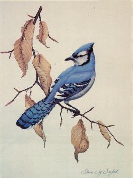 Drawings & Paintings - Blue Jay