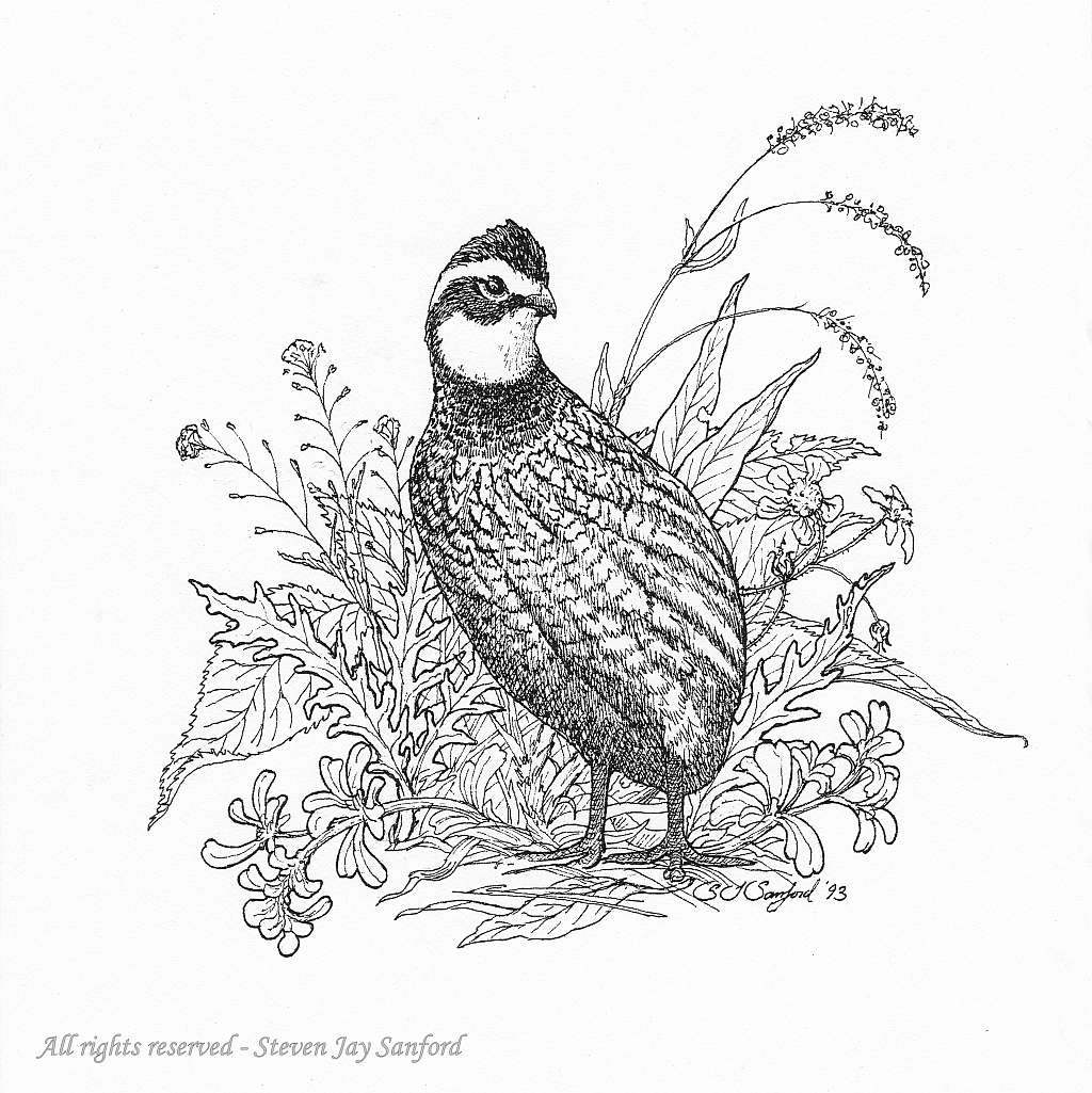 Line Drawing Quail : Quail clip art download bobwhite quails birds
