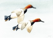 Drawings & Paintings - Canvasback