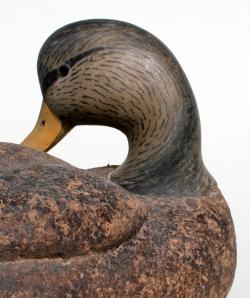 Cork Black Duck Preener - WS closeup