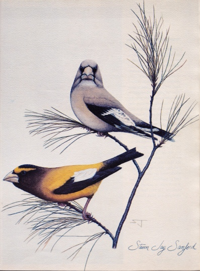 Drawings & Paintings - Evening Grosbeaks