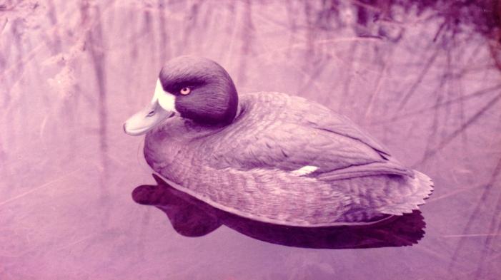 Floating Decorative Broadbill Hen - circa 1987.