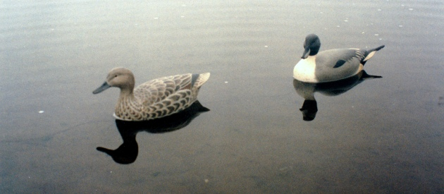 Pintail Pair 2