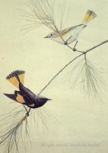 Redstarts - Adk Life - rr - small