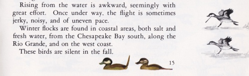Ruddy - Ducks at a Distance excerpt
