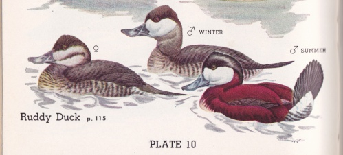 Water Bird Guide Ruddies