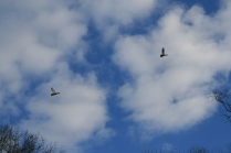A good sign - this pair gave us a fly-over minutes after 4 Woodies tried to join us in the Swamp.