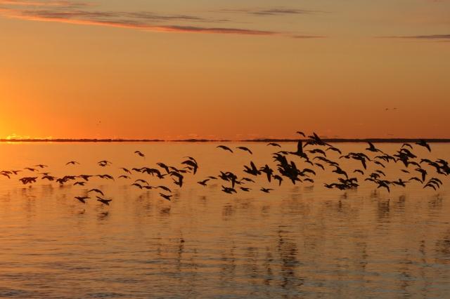 Brant flock 11